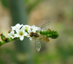 hoverfly making its wonderful job (Jos Bernardo) Tags: ecuador mosca hoverfly syrphidae coln portoviejo pollinator manab heliotropium polinizador heliotropiumindicum sirfida