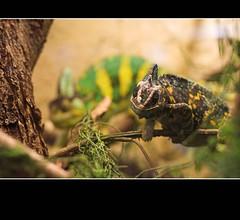 - Chamaeleon - (teliko82) Tags: teliko 2009 oberhof exotarium exotariumoberhof terrarium reptil reptile chamäleon chameleon jemenchamäleon veiledchameleon chamaeleocalyptratus musictomyeyes flickrstars flickrhearts globalvillage2 flickrroseawards flickrbronzeaward