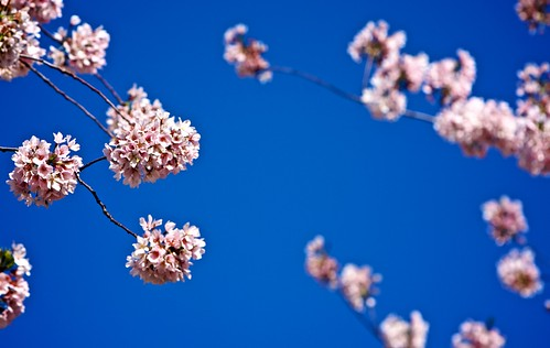 Blossoms on Blue