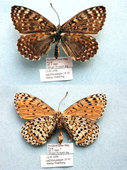 NW19-10 Melitaea sutschana (nymsysgro) Tags: russia nymphalidae nymphalinae melitaea melitaeini melitaeina sutschana