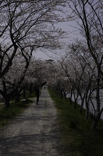 内野の桜 2