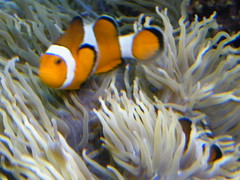 newzealand orange fish aquarium tank nemo tendril auckland clownfish anemone tropical fujifilm kellytarltons orakei s2000hd