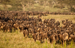 Serengeti Wildebeest Migration 5 (tonybill) Tags: africa holiday animals tanzania wildlife safari serengeti biggame