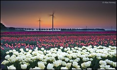 Sunrise over the Tulips (Alex Verweij) Tags: red white sunrise canon tulips explore rood wit 1022mm flevoland windmolens windmils abigfave aplusphoto flickrlovers alexverweij