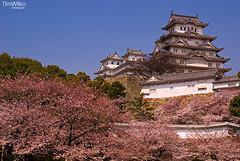 Himeji Caste (Tim Wilko) Tags: color colour castle japan cherry blossom   himeji sakura kansai  kinki    tamron1750mmf28 pentaxk10d