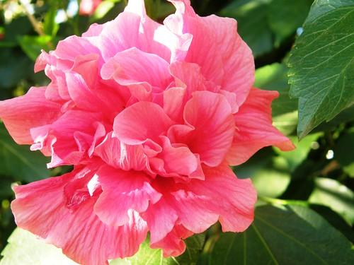 ibiscus rosado 7