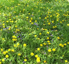 Why are dandelions weeds?