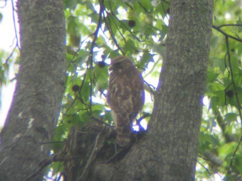 Red-shouldered Hawk Nesting in Marietta, Georgia Neighborhood