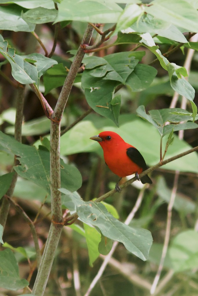 Scarlet Tanager in Japanese Knotweed, West Virginia