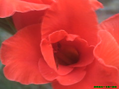 red is the color (jessigirl_94) Tags: red flower detail beautiful closeup wonderful garden amazing creative mysterious