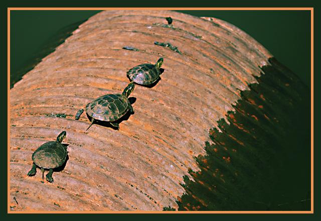 turtles_640