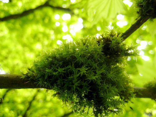 moss on a maple tree