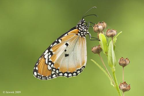 21.17 Butterfly ... Danaus chrysippus chrysippus (Plain Tiger)