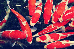 Hewan Dalam Ayer (DELLipo™) Tags: red favorite pets fish texture beauty animal photoshop pond retro canvas explore dell luck dslr capture finest haiwan d80 hdellr dellipo