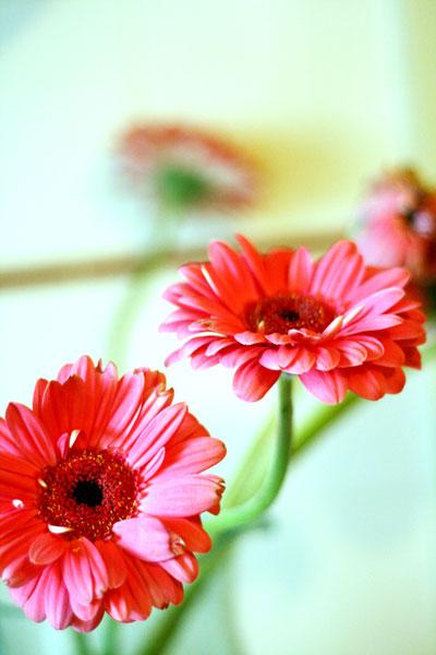090601-pinkgerberas