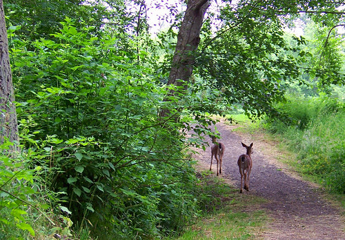 Deer on the trail