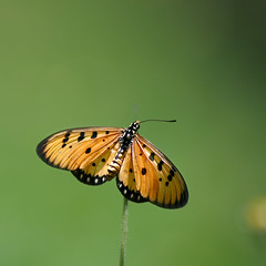 Butterflies are self propelled flowers! (AgniMax) Tags: green nature butterfly butterflies thursday gorgeousgreenthursday