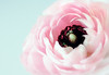 (Lee_Bryan) Tags: pink blue texture archive ranuncula