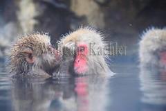 30090667 (wolfgangkaehler) Tags: winter snow male japan asian mammal japanese monkey asia wildlife grooming hotspring nagano jigokudani snowmonkey japanesemacaque jigokudanijapan