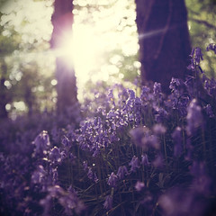 (GARETHRHYS.COM) Tags: flowers blue trees light summer sun green nature grass bluebells forest canon vintage woodland square lens photography spring woods soft colours purple post natural bokeh walk dream meadow crop processing flare dreamy effect bluebell gareth rhys f28 2010 2470mm