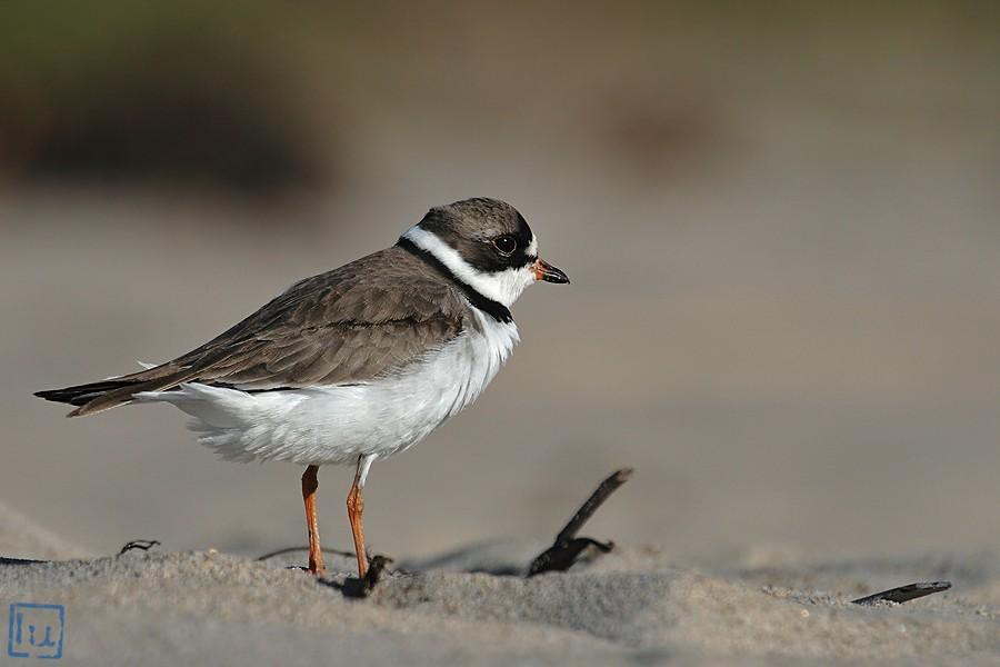 Semipalmated Plover 04101