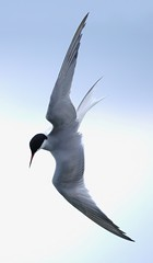 Tern and Dive (Martyn William) Tags: explore tern commontern britishbirds nikond300 nikonafs300mmf4dedifnikkorlens martynwilliam martynwilliamphotos onexplore6june2011 copyright2011martynwilliam