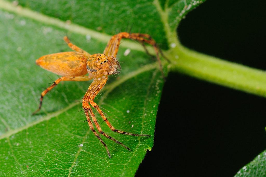 豹紋貓蛛 Oxyopes sp.