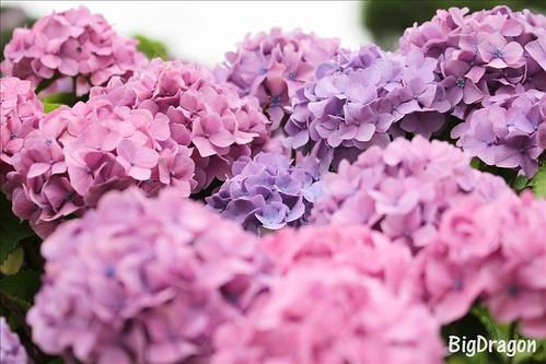 紫陽花その1