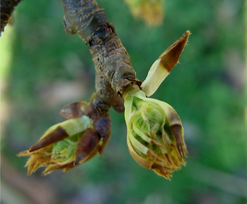 Bartlett Pear Tree Buds 1 13 09 002