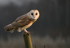 WILD barn owl (tyto alba) - Perching (GG82) Tags: uk wild england bird nature birds barn countryside britain farm wildlife watching norfolk hunting farmland raptor owl norwich perch hunter prey soe owls avian barnowl birdlife seething naturesfinest specanimal avianexcellence gg82