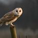 WILD barn owl (tyto alba) - Perching