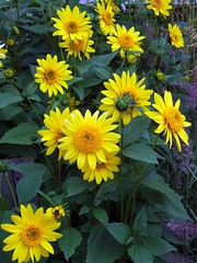 HELIANTHUS 'Happy Days'
