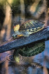 Turtle in Reflection