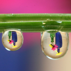 Physics of light - refraction (Mukumbura) Tags: christmas pink flowers blue light macro green nature water kitchen dark lens drops stem waves colours counter purple upsidedown bottles bokeh science drop tiles delight refraction daisy physics chive lenses tpc osteospermum flickrcolours flickrland canonef100mmf28macrousm mywinners waterdropsmacros physicsoflightrefraction flickrliscious tpcu14 tpcu14l5