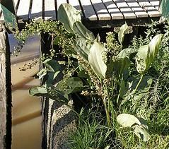 BURHEAD (Echinodorus grandiflorus grandiflorus) cucharero # Original= (2697 x 2371) (turdusprosopis) Tags: delta aquaticplants rootvegetables calita swordplant alismataceae aguap echinodorus planteaquatique plantasacuticas cucharn floraargentina chapudecouro fitoterpicos burhead plantasargentinas plantasdeargentina plantasautctonasargentinas plantasautctonasdelaargentina floraautctonaargentina floraautctonadeargentina plantasnativasargentinas plantasnativasdeargentina plantasnativasdelaargentina floradelaargentina floradeargentina alismatceas plantasautctonasdeargentina floraautctonadelaargentina floranativabrasileira floranativadobrasil floradobrasil argentineindigenousplants froschlffelhnliche froschlffelartige aquariumsplants floraofargentina plantsofaquarium echinodorusargentinensis echinodorussellowianus echinodorusellipticus echinodoruslongiscapus cordifolii alismagrandiflora echinodoruslongistylus floraofbrazil floraofuruguay piantedacquariodacquadolce piantedacquario schwertpflanzen froschlffelgewchse    swordplants vassgrofamilien miekkakasvit sarpiokasvit chdecampanha achiradelagua echinodorusgrandiflorus echinodorusgrandiflorusvargrandiflorus echinodorusgrandiflorusvargrandifloruschamschltdlmicheli pajadebaba
