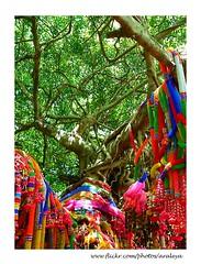 Holy Banyan (Araleya) Tags: plant flower tree thailand fz20 interesting worship faith religion holy believe offering mysterious myth banyan touristattraction korat panasoinc phimai araleya nakhonratchasima     lericadigital