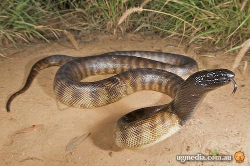 Black-headed python (Aspidites melanocephalus)