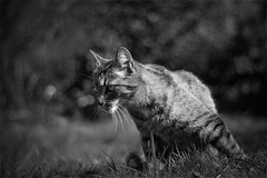hunting... (Ben Locke) Tags: cat garden thecatwhoturnedonandoff