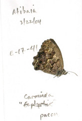 Moneuptychia paeon