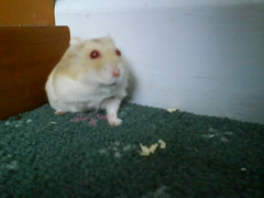Toby's paw disappeared (ikieran97) Tags: hamsters