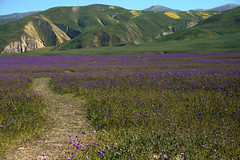 Landscape. (star of the seaa) Tags: california flowers green landscape purple path hills