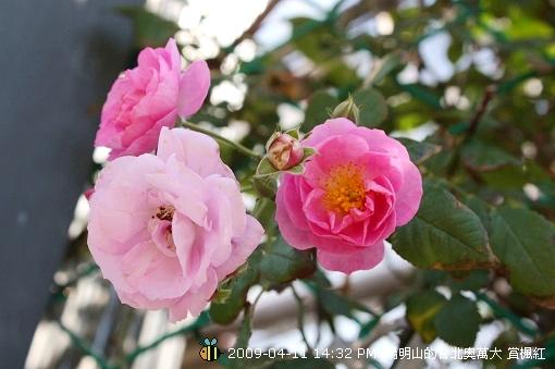 09.04.11 漂亮的爬藤薔薇@陽明山 (4)