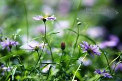 too many flowers to sort through (slcook52 (Sylvia)) Tags: flower macro purple bokeh explore fff transcending tamron2875mmf28 bokehlicious perfectpurplesaturday cop