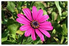 Non ti resisto (SaraPc) Tags: flowers verde mare colore natura il mio fiori piante petali fucsia margherita preferito