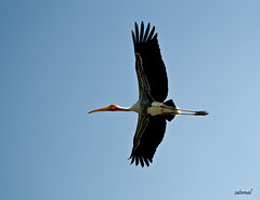 Painted Stork (saternal) Tags: bird wings painted stork ranganathittu paintedstork streach saternal