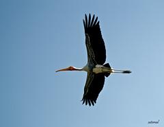 Painted Stork (saternal) Tags: bird wings painted stork ranganathittu paintedstork streach saternal