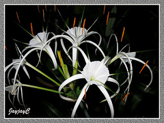 Hymenocallis caribaea (Caribbean Spiderlily, Spider Lily, White Lily) with 3 buds just unfurled in rapid succesion, April 26 2009