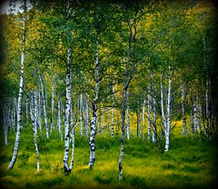Birken in Norwegen - Norway (NPP-publik_oberberg) Tags: wood summer tree art nature norway forest creative birch oberberg birke platinumphoto anawesomeshot theunforgettablepictures platinumheartaward
