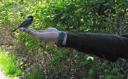 Feeding a Chickadee