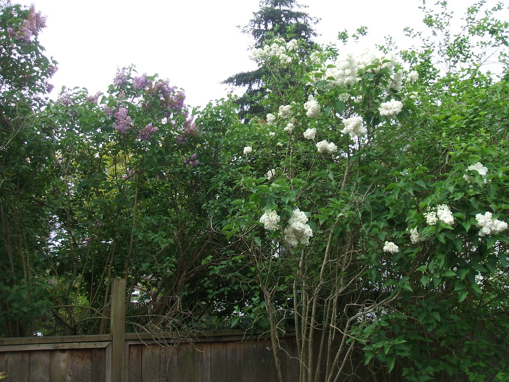 Purple & white lilacs conversing over the fence